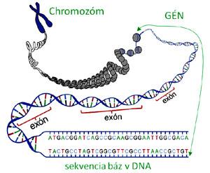 schéma génu